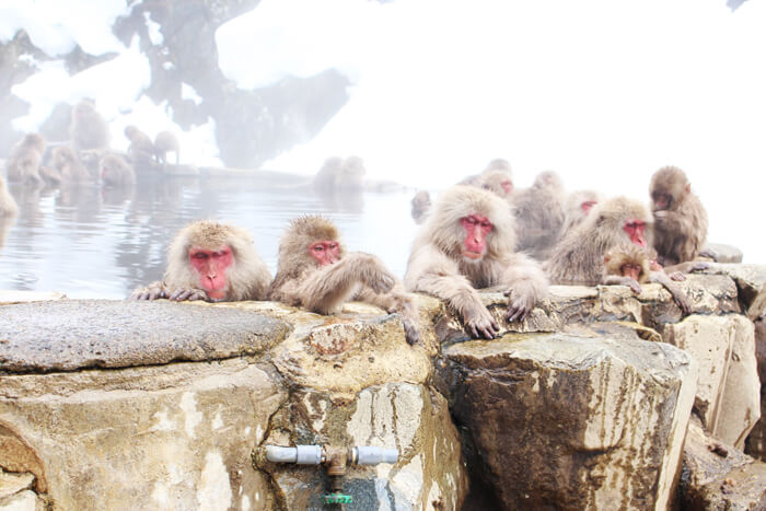 snow monkeys having onset